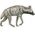 Image Hyène rayée